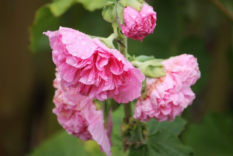 桃红色冬葵植物 库存照片