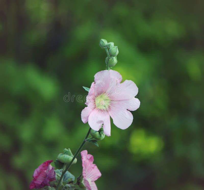 桃红色冬葵植物 免版税库存图片