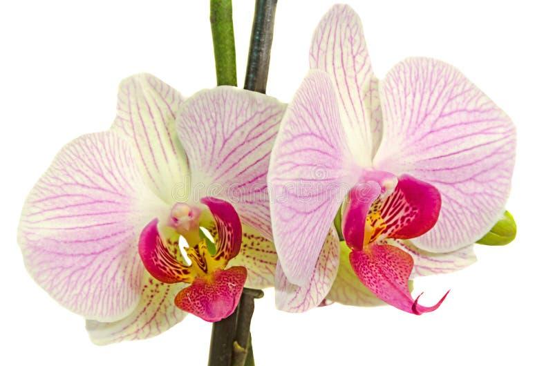 桃红色分支兰花开花与绿色叶子,兰科,叫作蝴蝶兰的兰花植物,省略的Phal 免版税库存图片