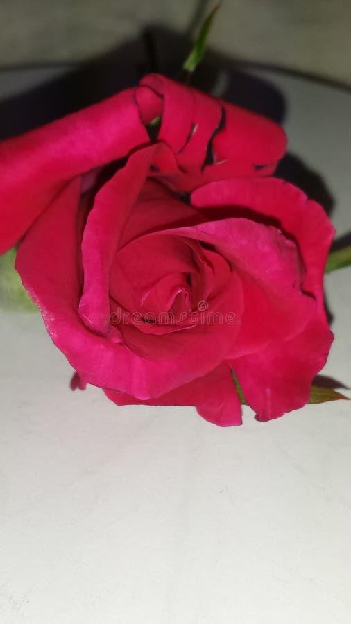 桃红色发芽的玫瑰色切口油罐顶部角钢  免版税库存图片