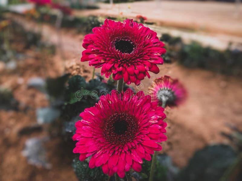 桃红色向日葵在从金马仑高原,马来西亚的花园里 免版税库存照片