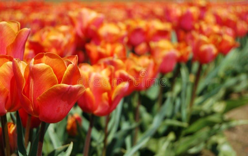 桃红色和橙色郁金香 库存图片