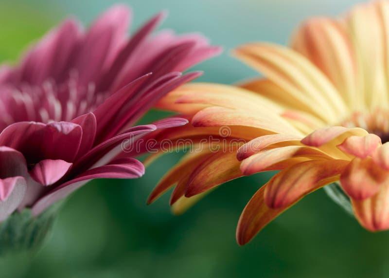 桃红色和橙色雏菊大丁草花 免版税图库摄影