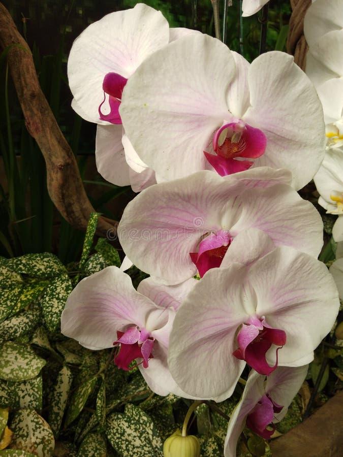 桃红色和白色兰花在庭院里 库存图片