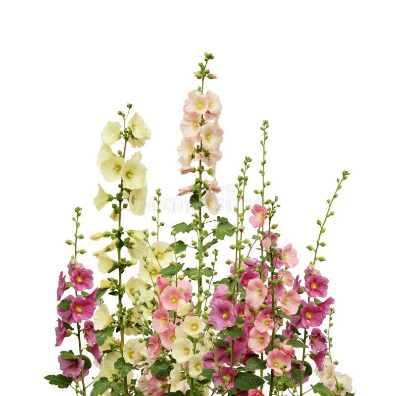 桃红色和白色冬葵花 免版税库存图片