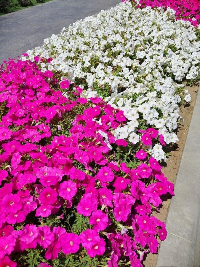桃红色和白色喇叭花花 库存图片