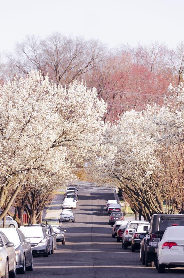桃红色和白色开花的树围拢的街道 库存图片