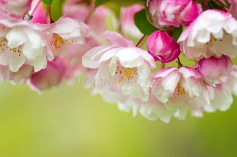 桃红色和白色春天在绿色背景进展 免版税库存图片