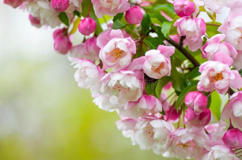 桃红色和白色春天在绿色背景进展 库存照片