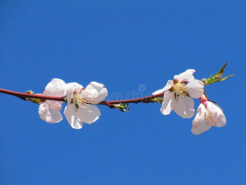 桃红色和白色樱花在九寨沟国立公园四川 免版税库存照片