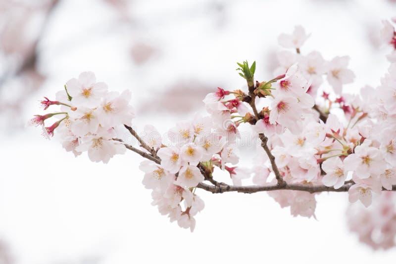 桃红色和白色樱花 免版税库存照片