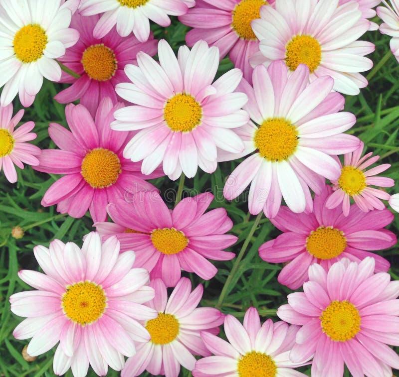 桃红色和白色海角延命菊雏菊花 免版税库存照片