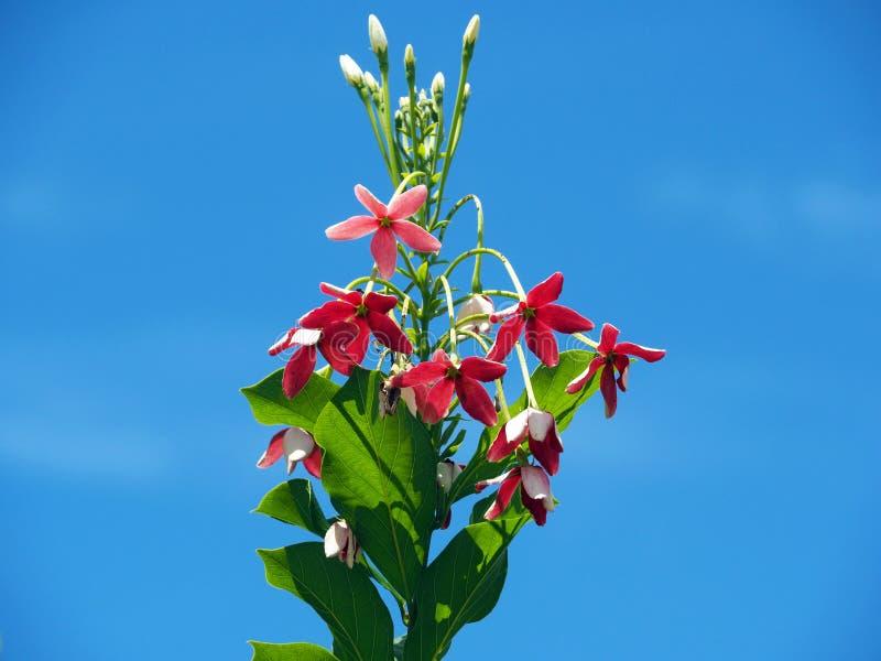 桃红色和白色狂放的Combretum Indicum或与清楚的天空蔚蓝的中国忍冬属植物或者仰光爬行物花在热带苏里南 免版税库存图片
