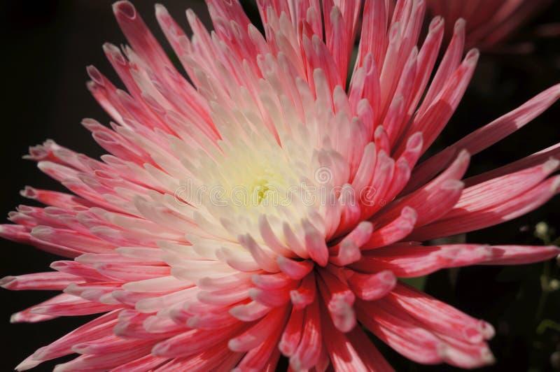 桃红色和白色翠菊花 免版税库存照片