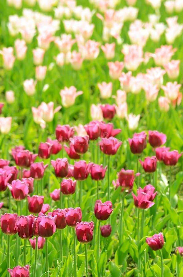 桃红色和白色郁金香 库存图片