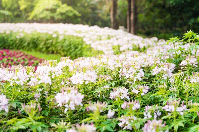 桃红色和白色醉蝶花属 免版税库存照片