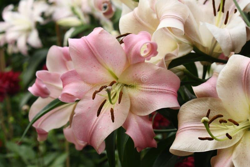 桃红色和白色lillies 库存图片
