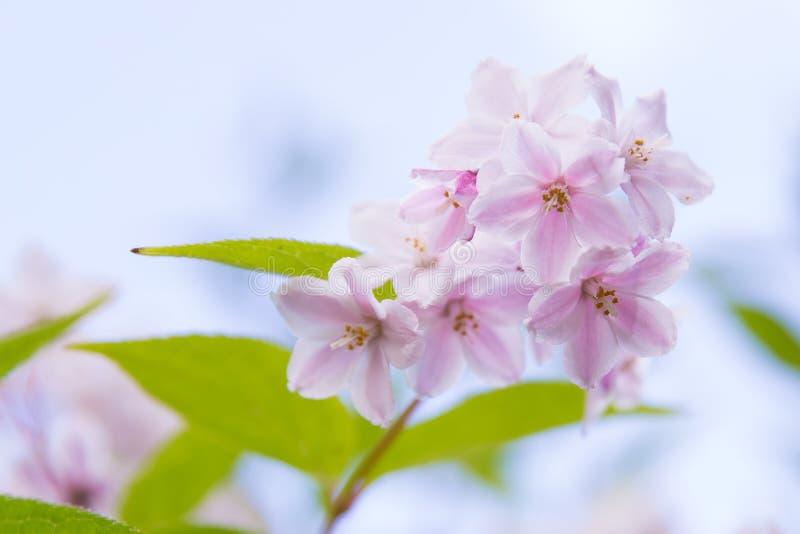 桃红色和白花在干净的背景中 免版税库存照片
