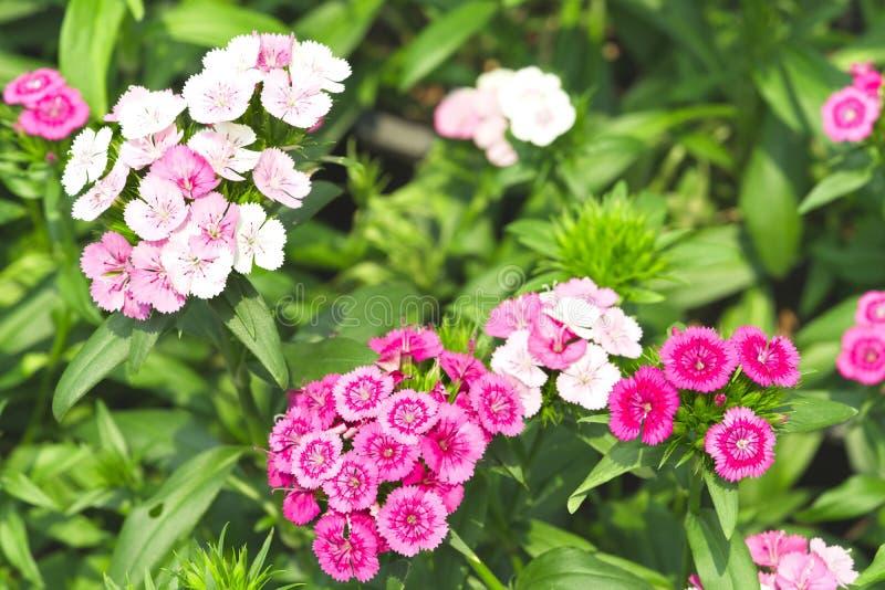 桃红色和白花开花,绿色叶子围拢花 免版税库存照片