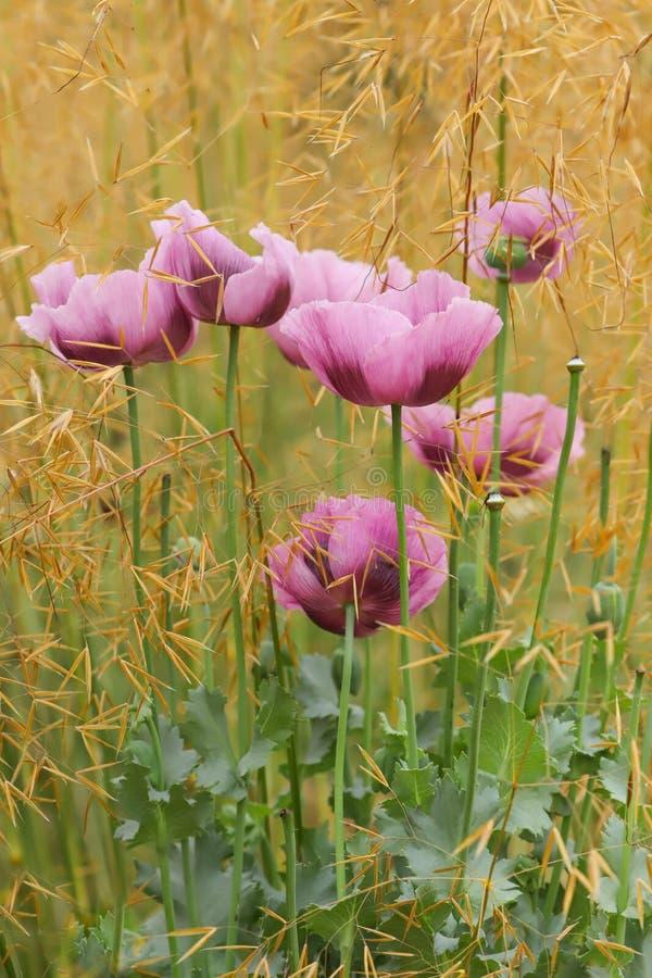 桃红色和紫色东方罂粟罂粟属orientale 库存照片