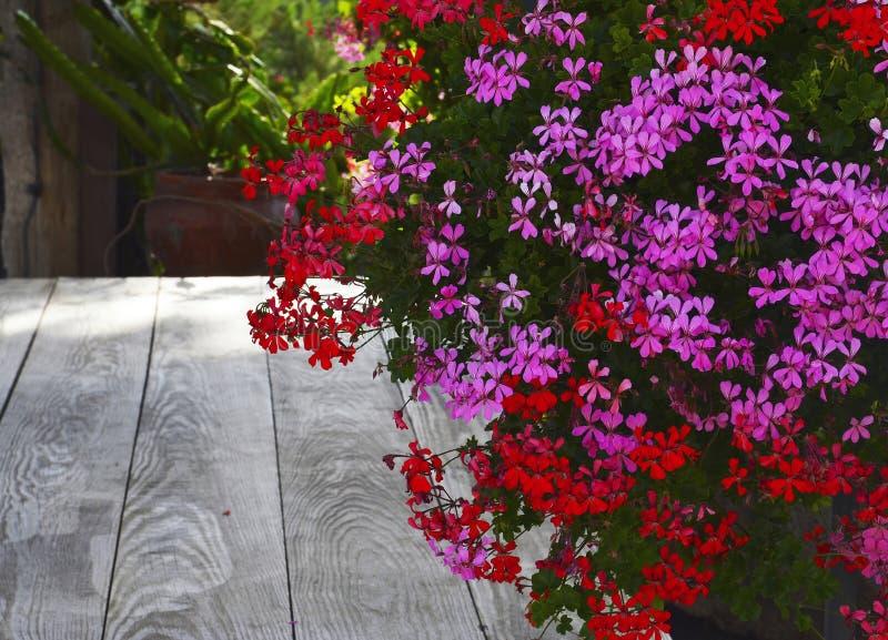 桃红色和红色大竺葵在老木桌背景的夏天庭院里开花 常春藤叶子天竺葵花 库存图片