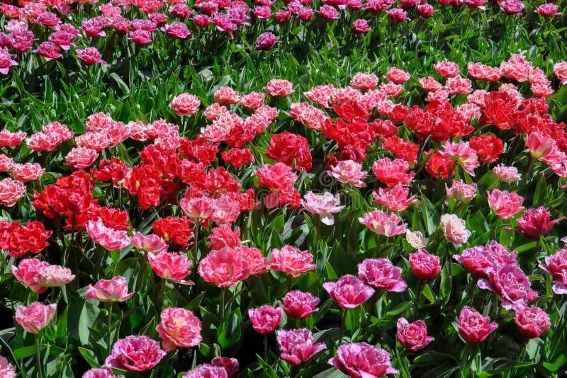 桃红色和红色特里郁金香在春天从事园艺 在视图之上 库存照片