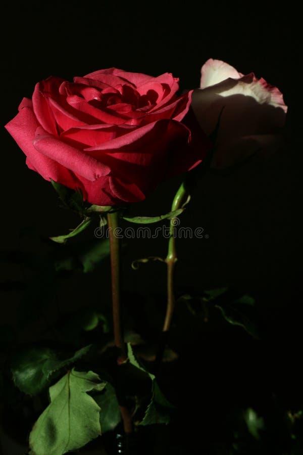 桃红色和红色玫瑰 库存图片