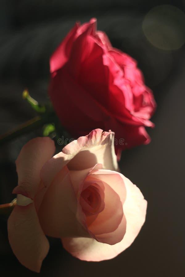 桃红色和红色玫瑰 免版税库存照片