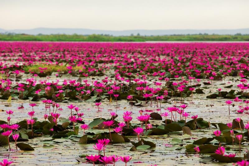 桃红色和红色莲花海在Udonthani泰国的 库存图片