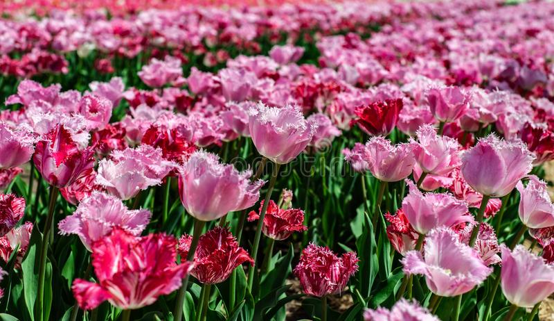 桃红色和红色郁金香的美好的领域在模糊的背景 免版税库存图片