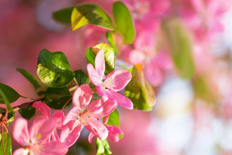 桃红色和红色japaneese樱桃树花开花 免版税库存图片