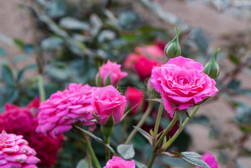 桃红色和英国兰开斯特家族族徽是非常美丽的花和锋利的刺本质上 库存图片