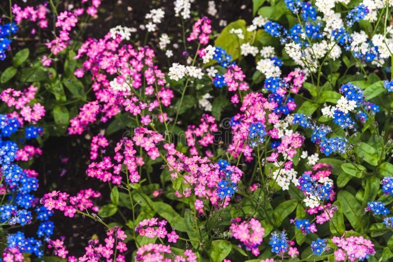 桃红色和蓝色勿忘草草坪  免版税图库摄影