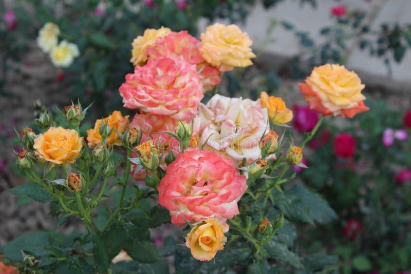 桃红色和黄色玫瑰束 免版税图库摄影