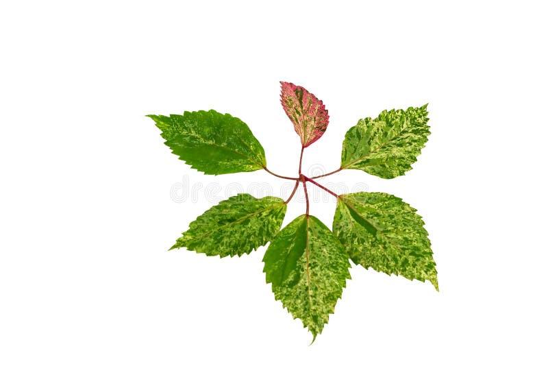 桃红色和绿色中国罗斯在白色背景的叶子孤立的叶子样式 保存与裁减路线 免版税库存图片