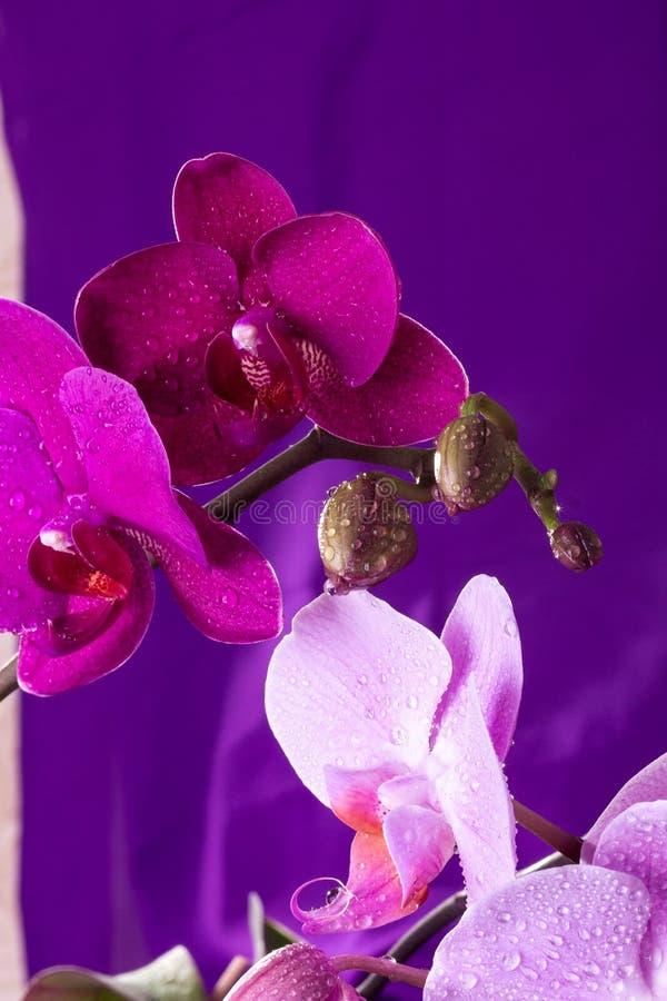 桃红色和紫色兰花宏指令用水下降 在紫色背景的兰花植物分支 关闭 春天 免版税库存照片