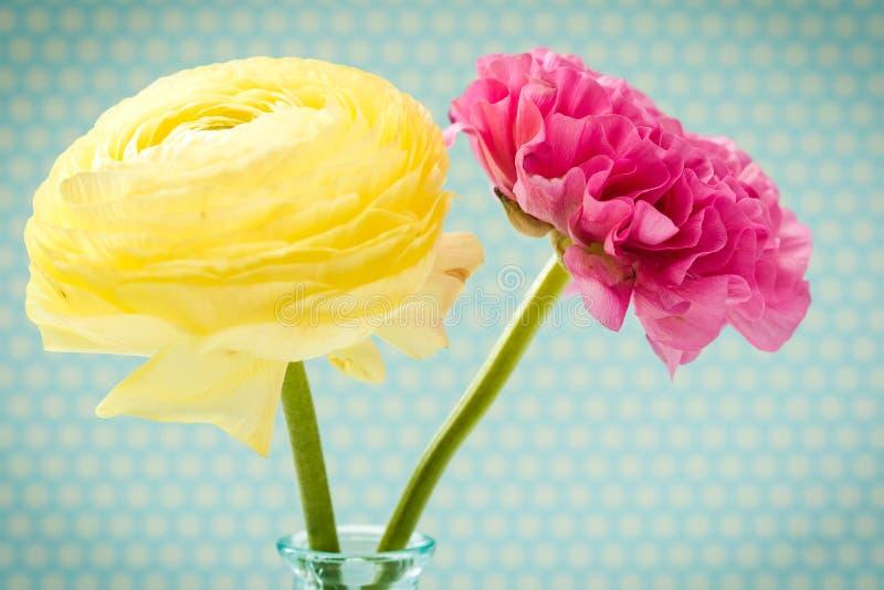 桃红色和黄色毛茛属 库存照片