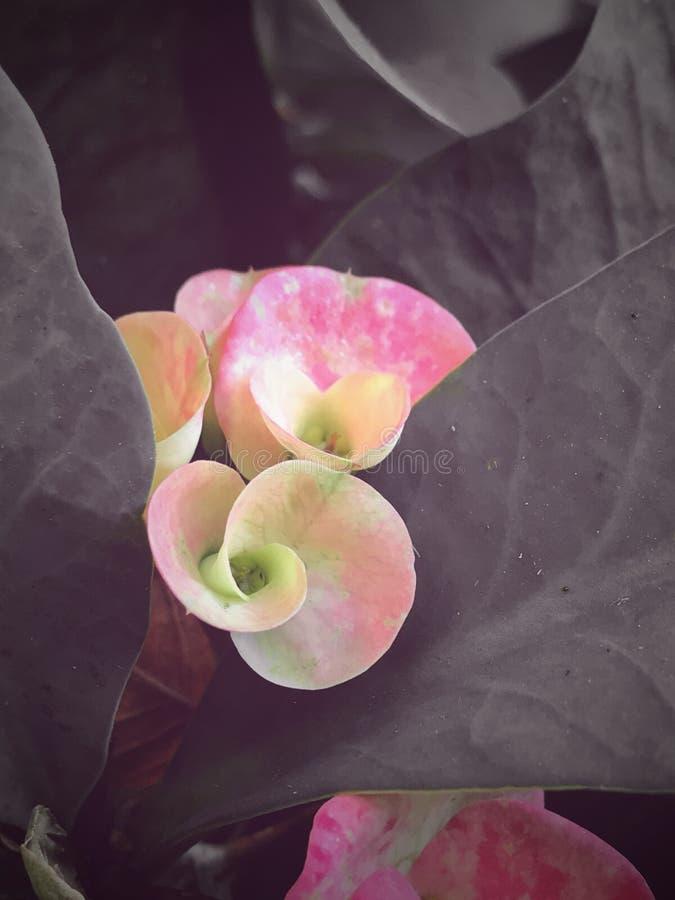 桃红色和whiteflower 免版税库存照片