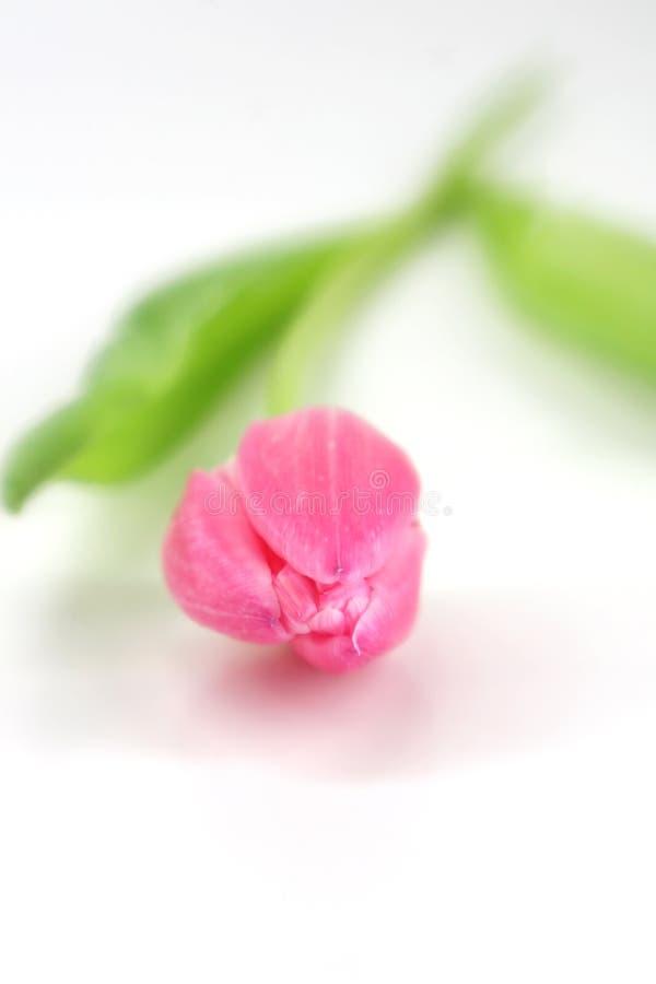 桃红色唯一郁金香 库存图片