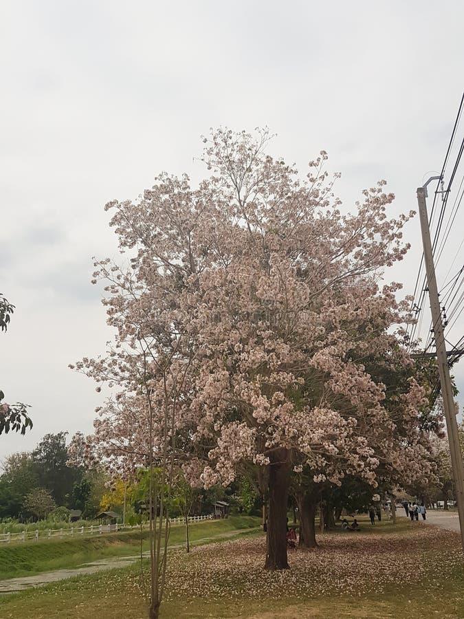 桃红色喇叭树、Tabebuia rosea和天空蔚蓝背景 库存照片