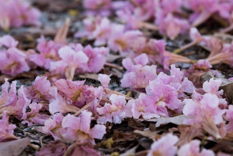 桃红色喇叭树花  免版税图库摄影
