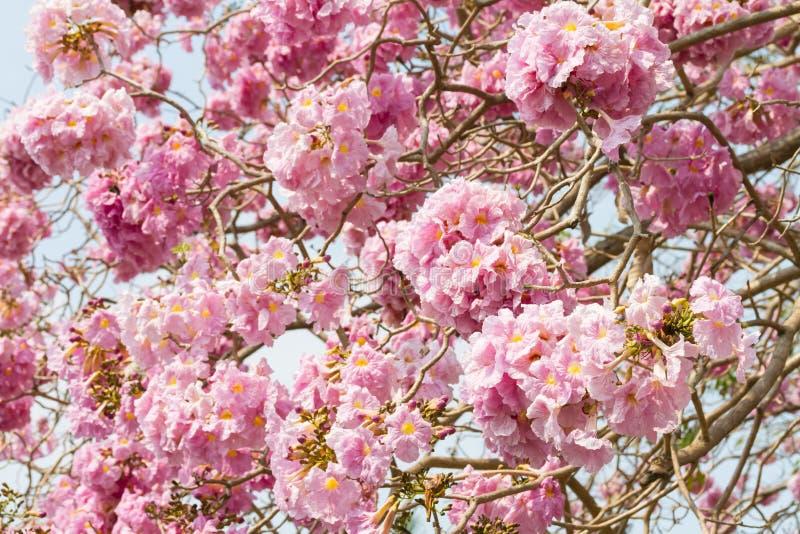 桃红色喇叭树,玫瑰色喇叭树花 免版税库存照片