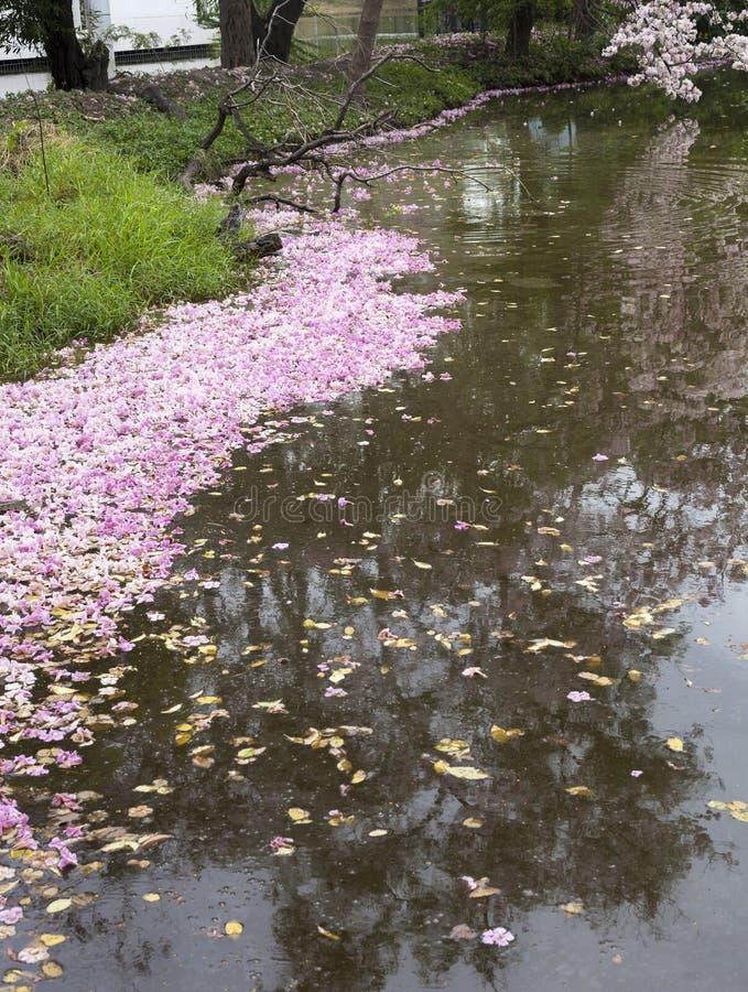 桃红色喇叭树Tabebuia rosea秋天在湖在公园 库存图片