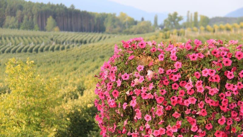 桃红色喇叭花和苹果计算机种植园背景 免版税库存图片