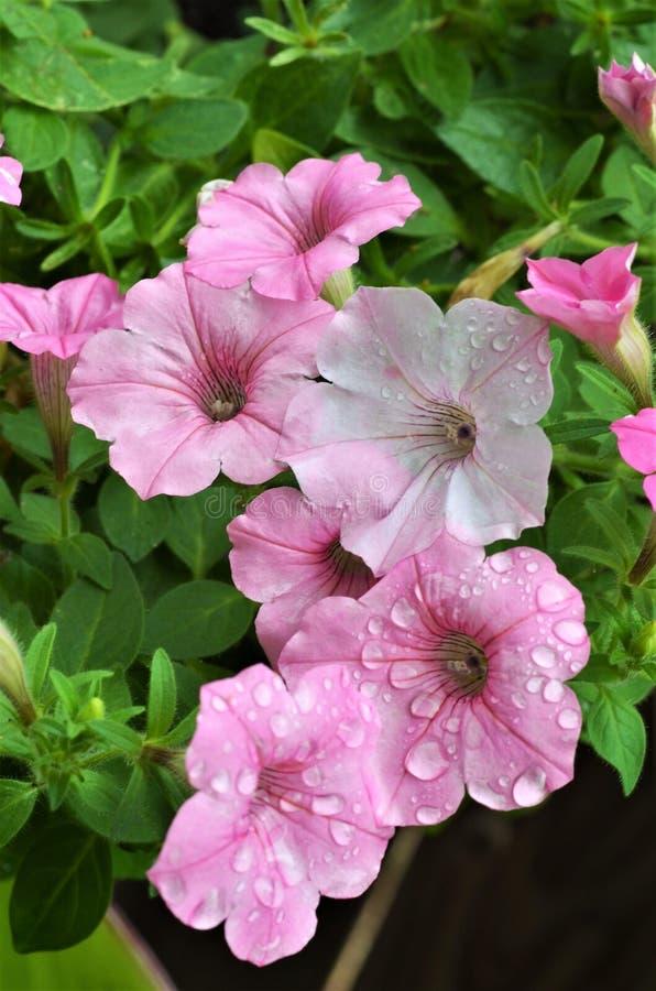 桃红色喇叭花和雨下落 库存照片