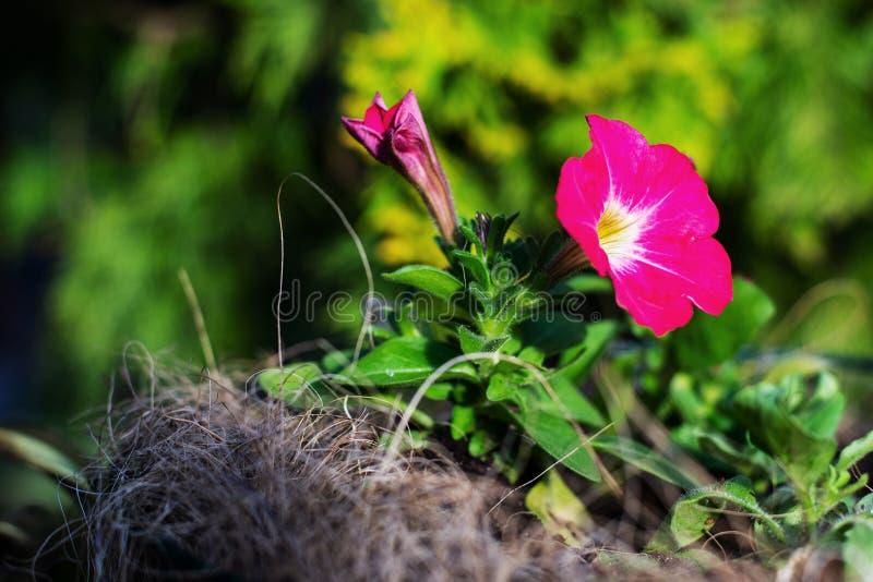 桃红色喇叭花在庭院里 库存图片
