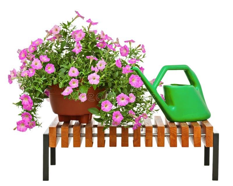 桃红色喇叭花开花与在白色背景隔绝的庭院辅助部件 免版税库存照片