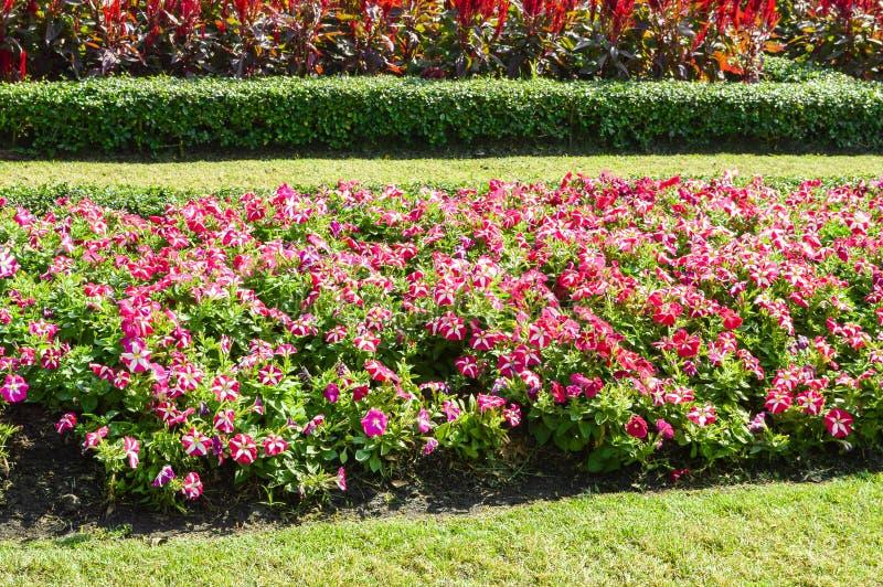 桃红色喇叭花杂种花在自然庭院里 图库摄影