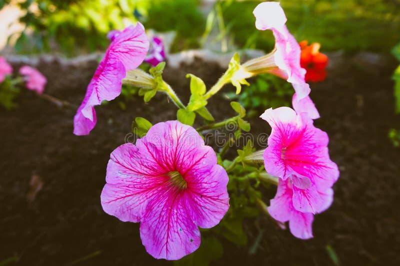 桃红色喇叭花绽放在黑地面的庭院里 图库摄影
