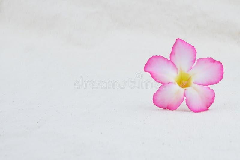 桃红色在平纹细布织品的沙漠玫瑰色花 免版税库存图片